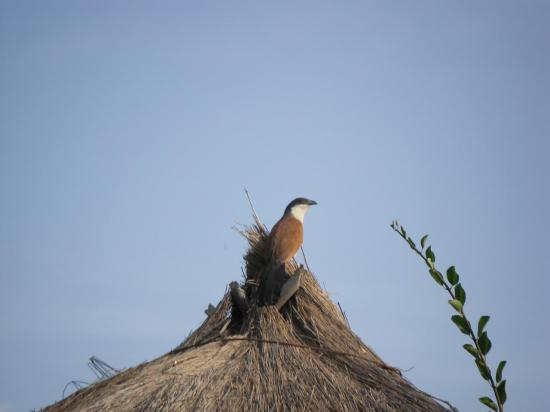 coucal-du-senegal-2.jpg