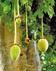 fruits-de-baobab.jpg