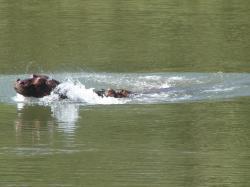 hippo-gambie-3.jpg