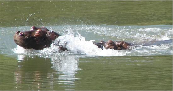 hippo-gambie-4.jpg
